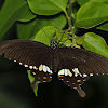 Common Mormon female mimicking II