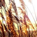 Daisy and Prairie grass
