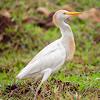 Garça-Vaqueira(Cattle Egret)