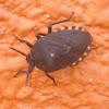 Forest Bug or Stink Bug?