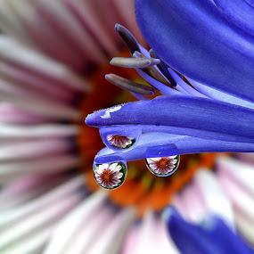 by Margie MacPherson - Nature Up Close Natural Waterdrops ( macro, water drops, daisy, agapantha,  )