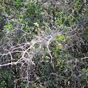 lotebush RHAMNACEAE zizphus obtusifolia