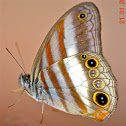 White-banded Satyr