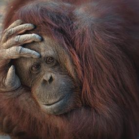 by Esteban Rios - Animals Other Mammals ( nature, ape, orangutan, mammal, animal )