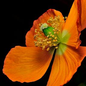 Orange Poppy by Nizam Akanjee - Flowers Single Flower ( orange poppy, poppy, cup of gold, california sunlight,  )