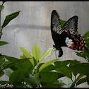 Papilio alphenor