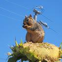 Fox Squirrel eating sunflower seeds