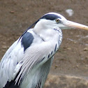 Grey Heron,Garça Real europeia