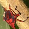 Fulgorid Planthopper Nymph