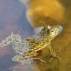 Skittering frog