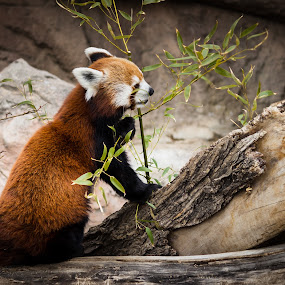 Red Panda by Dale Versteegen - Animals Other ( bamboo, relaxed, eating, use,  )