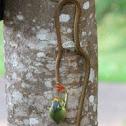 Bronze back tree snake