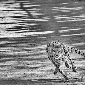 Speeding by Christian Wicklein - Black & White Animals ( big cat, cheetah, zoo, fast, running,  )