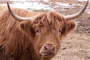 Screenshot of Cow Wallpaper