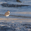 Kentish Plover / Snowy Plover