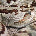 Tzabcan (Yucatán Neotropical Rattlesnake)