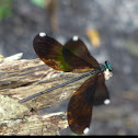 Ebony Jewelwing ♀