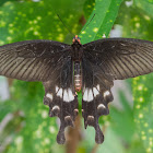 Great Mormon
