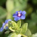 Blue Pimpernel