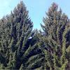 European Spruce