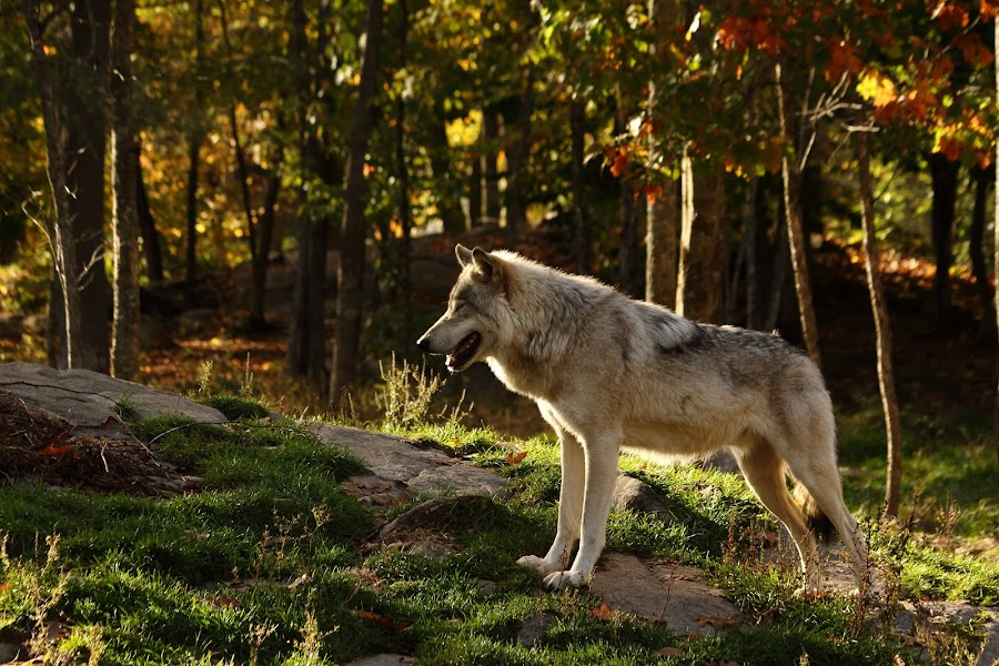 Back lit beauty by Christine Chambers - Animals Other ( nature, wolf, fall, wildlife, nature photography,  )