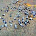 Mecca pigeon