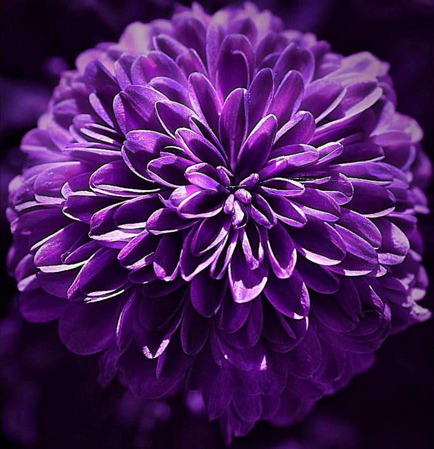 Fully Open Button Mum by Rhonda Musgrove - Flowers Single Flower ( purple, petals, chrysanthemum, mum, flower )