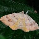 Yellow Shell; Concha Amarilla