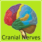 Cranial Nerves Flashcards