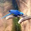 Arara azul grande. Hyacinth Macaw