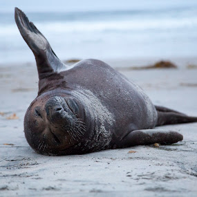 Beached Seal by Danielle Falknor - Animals Sea Creatures ( seal, california, seal pup., ocean, beach,  )