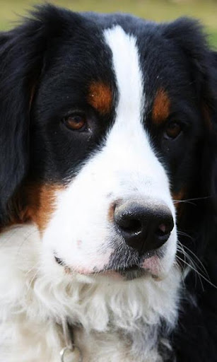 Bernese Mountain Dogs Puzzle