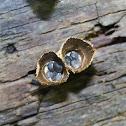 Fluted Bird's Nest Fungi