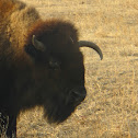 Bison / American Buffalo