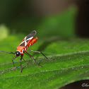 Cotton stainer bug