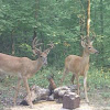 White-tailed deer - buck(s)