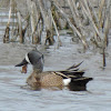 Blue-winged Teal Duck (male)