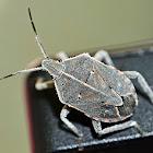 Unidentified shield bug