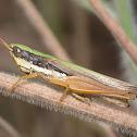 Dry grassland grasshopper