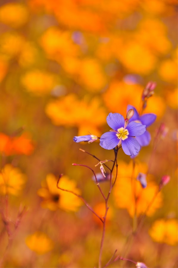 Speck of blue by Efraim van der Walt - Flowers Flowers in the Wild ( macro, nature, blue, wld, flower,  )