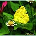 Scalloped Grass Yellow