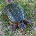 North American Snapping Turtle