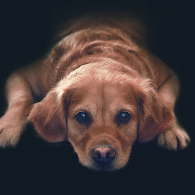 Sarrah by Kiril Krastev - Animals - Dogs Portraits ( canon, sony, retriever, 50mm, f/1.4, nex-5, golden, golden retriever,  )