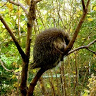 North American Porcupine or Canadian Porcupine