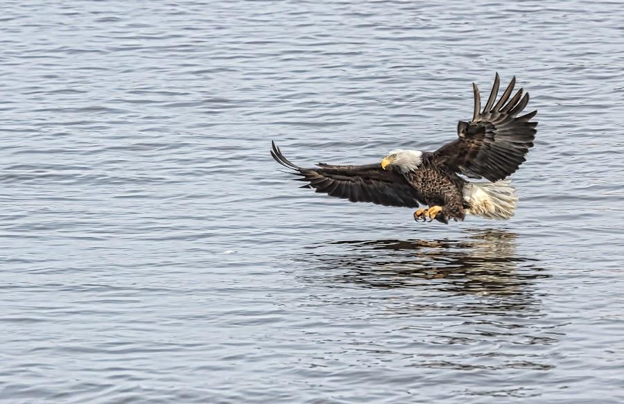 Snag! by Dixie Kurtz - Animals Birds ( iowa, lock and dam 14, leclaire, eagles, canon 7d, sigma 120-300,  )