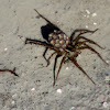 Field Wolf Spider (with spiderlings)