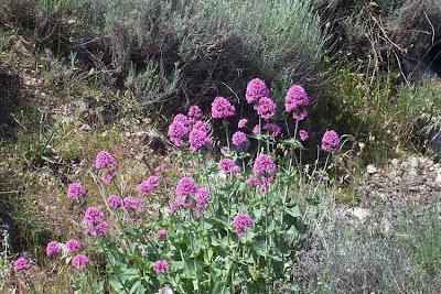 Centranthus ruber, Camarezza comune, fox's-brush, Jupiter's-beard, red valerian, red-valerian, Savonina, Valeriana rossa
