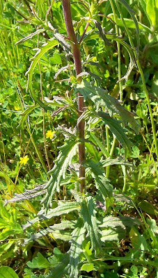 Bellardia trixago, bellardia, Mediterranean lineseed, Perlina minore, Trixago Bartsia