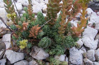 Sedum sediforme, Borracina di Nizza, Pale Stonecrop, sédum de Nice, uña de gatos
