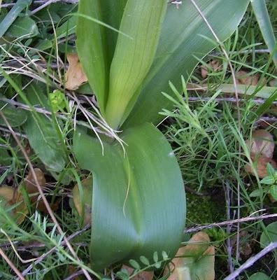 Barlia robertiana, Barlia, Giant Orchid
